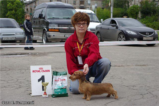 Такса порода собак фото карликовая такса кроличья